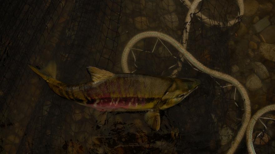 orncorhynchus keta