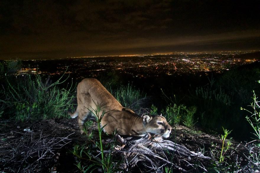 mountain-lion-verdugos-nps-2016